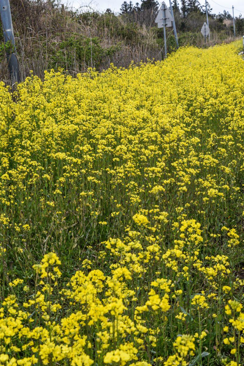 rapeseed fields in Jeju