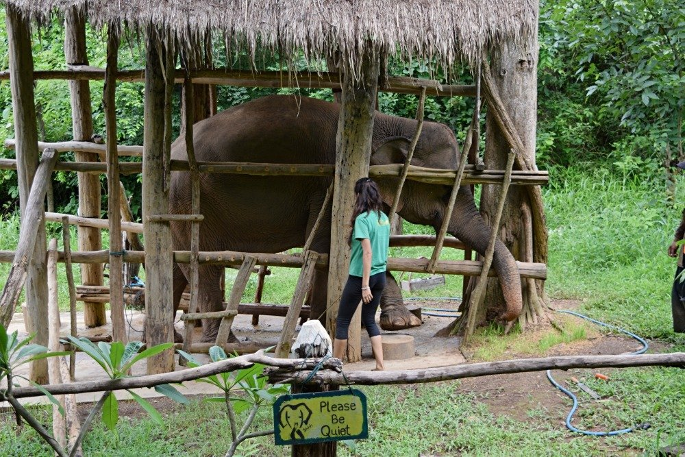 elephants at the ECC in Laos