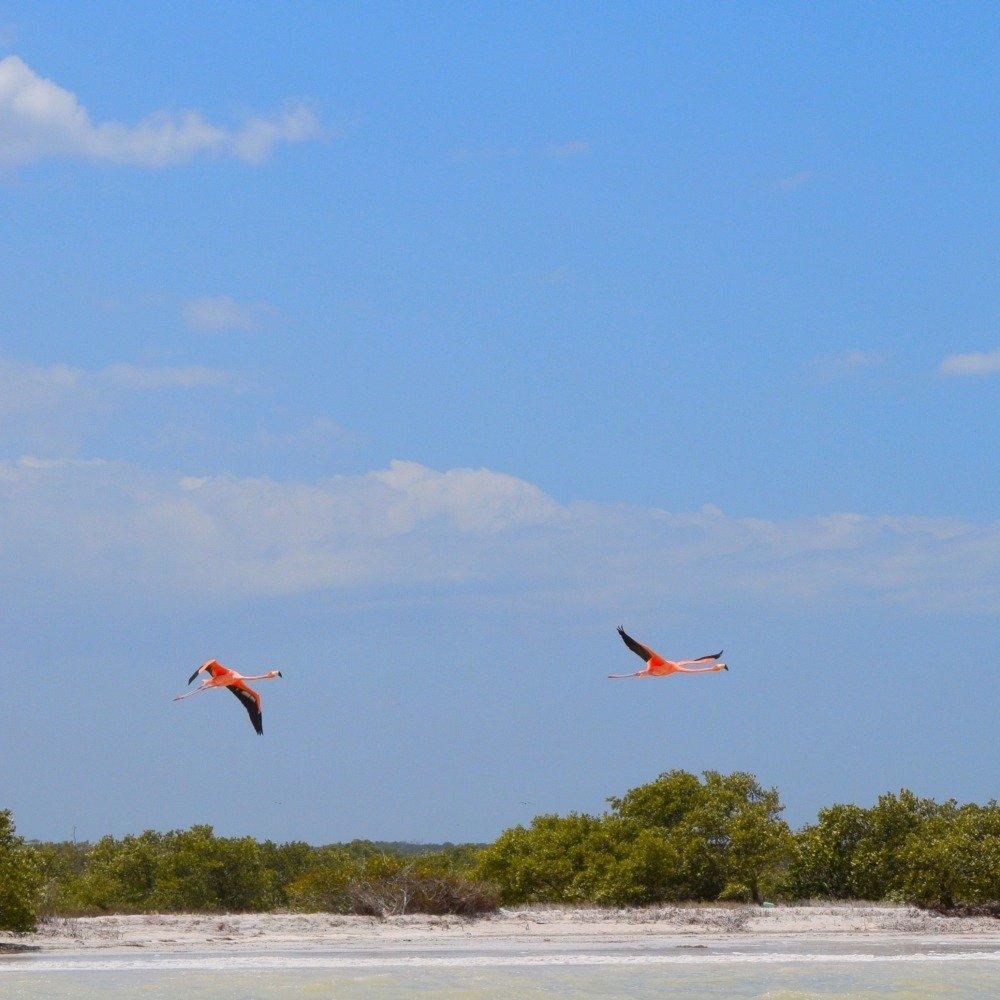 flamingos in rio lagartos
