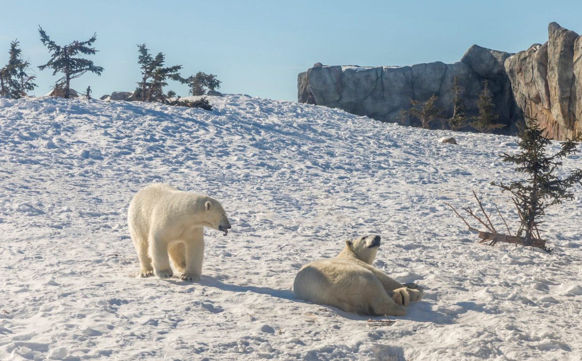 polar bears in churchill manitoba