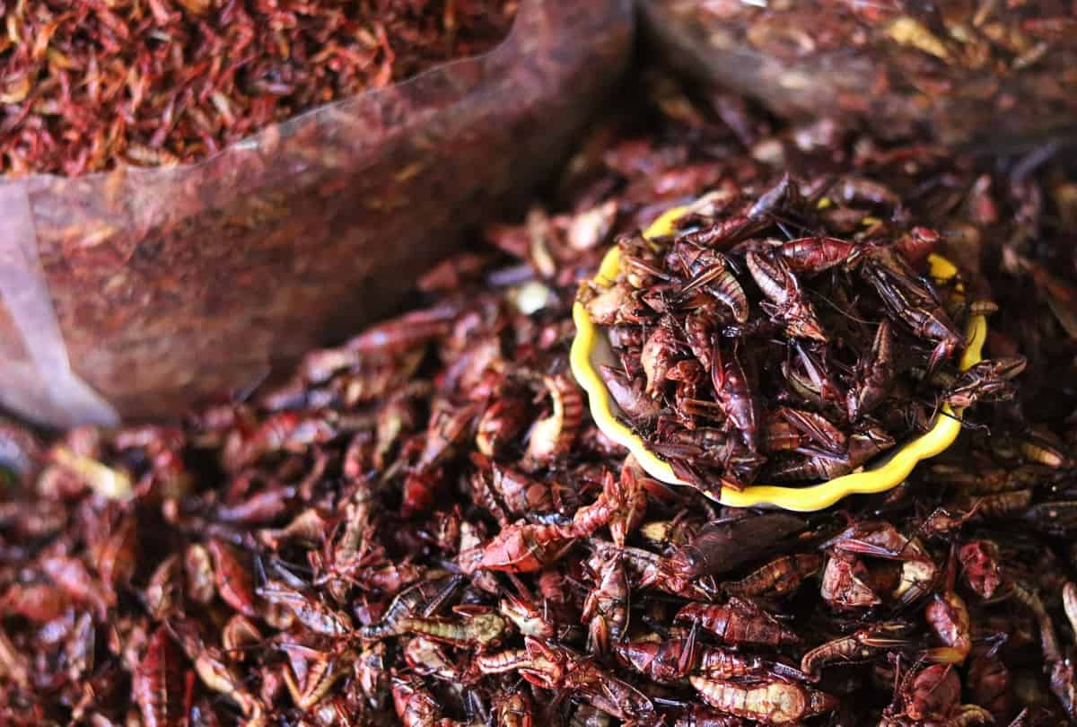 chapulines or crickets, a popular snack in Mexico